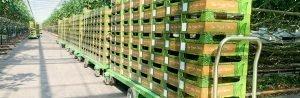 Efficient harvesting with the help of harvesting trolleys | Steenks Service